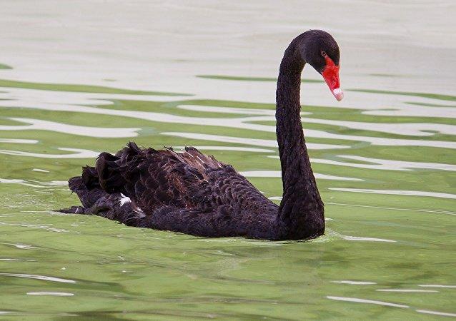 Un cisne negro (imagen referencial)