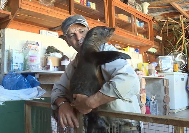 Casi como en casa: un rescatista uruguayo adopta una cría de foca marina
