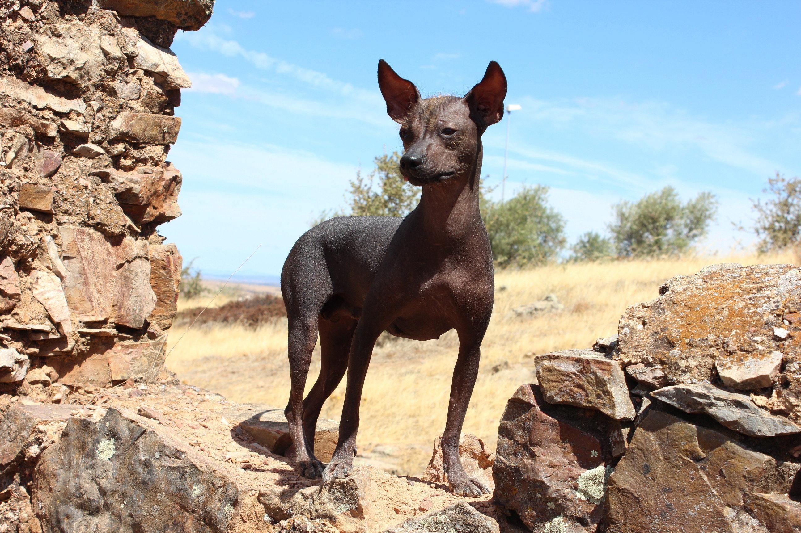 Perro sin pelo del Perú, también denominado viringo o calat