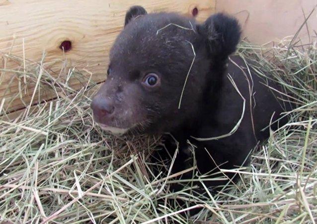 Veterinarios rusos cuidan a un pequeño oso del Himalaya