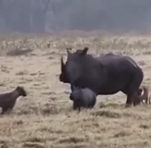 Una rinoceronta protege a sus crías de hienas hambrientas