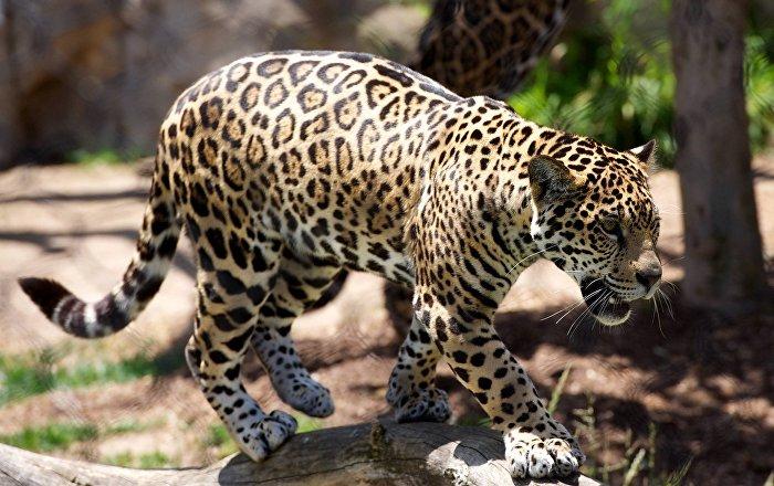 Un leopardo, foto de archivo