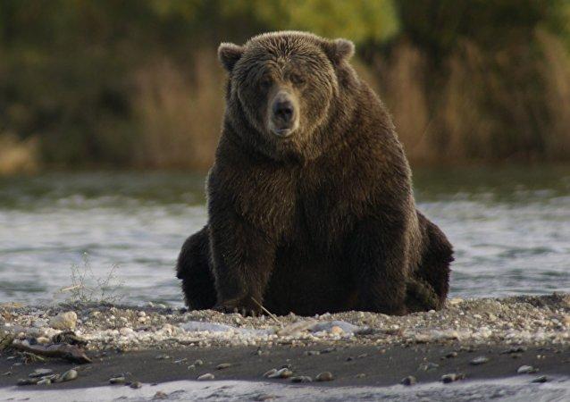 Un oso pardo, imagen referencial