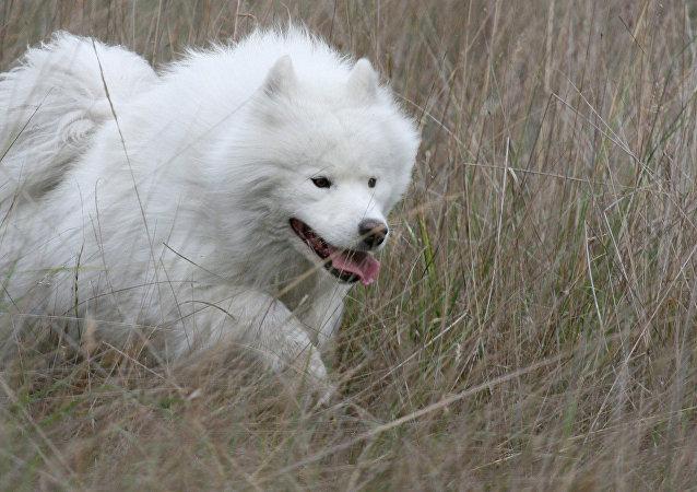 Perro samoyedo macho (raza rusa)