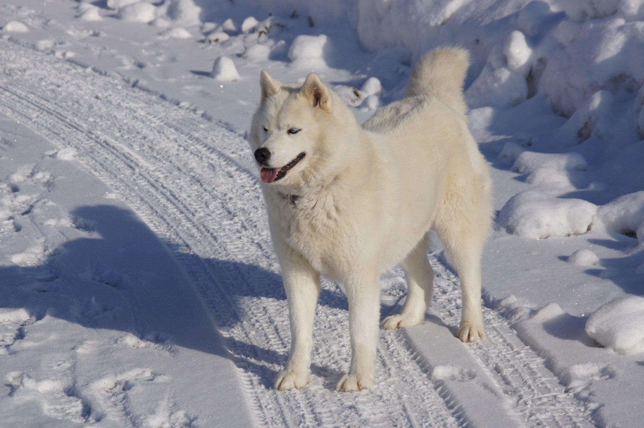 Laika siberiana oriental (perro de raza rusa)