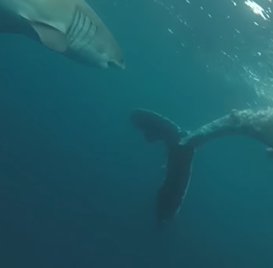 Unos tiburones devoran a una ballena de más de ocho metros