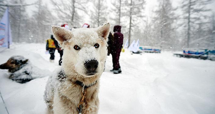 Un perro participante en la carrera 'Berínguia'