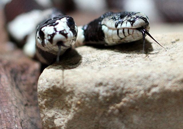 Una serpiente con dos cabezas, foto de archivo