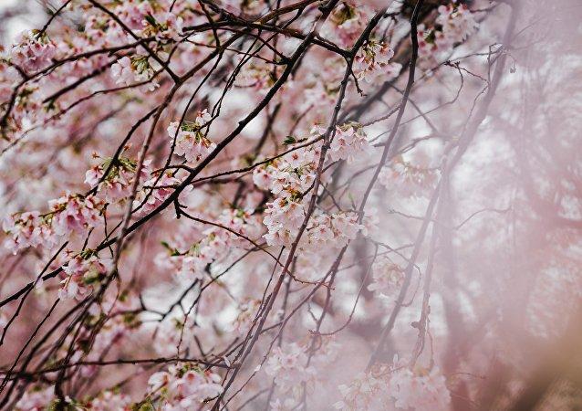 La sakura (imagen referencial)