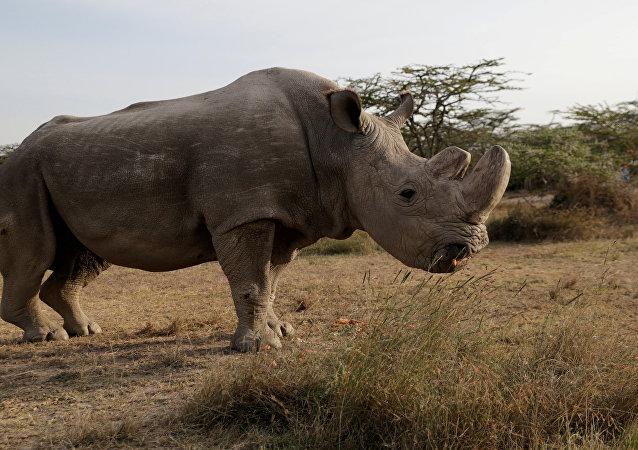 Sudán, el último ejemplar macho de rinoceronte blanco del norte (archivo)