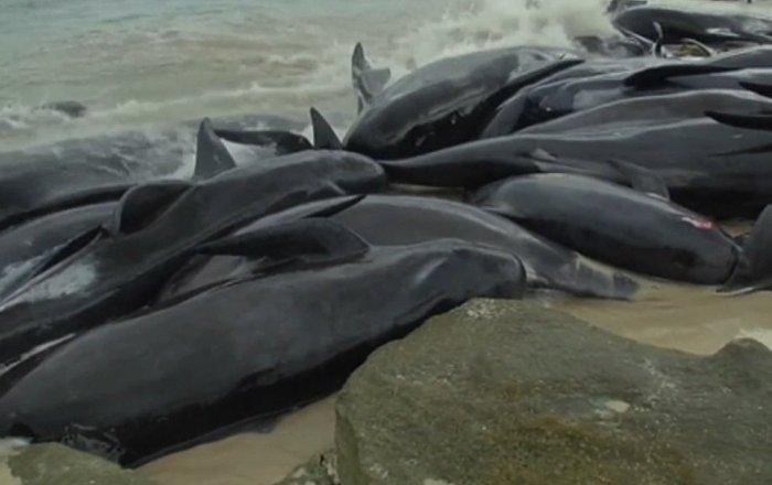 Más de 150 ballenas se quedan varadas en Australia
