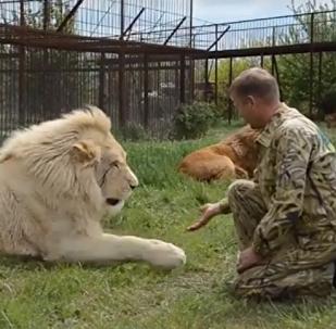 Besos y masajes: la vida de un verdadero encantador de leones de Crimea