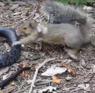 Batalla reñida: una ardilla se decide a atacar a una serpiente
