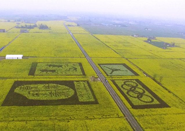Enormes dibujos surgen en plantaciones de canola en China