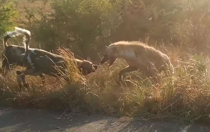 Una Pelea Brutal Entre Perros Y Hienas Vista Desde Cerca Sputnik