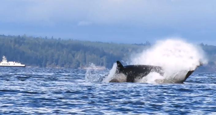 Escalofriante vídeo: una ballena asesina acaba con un león marino