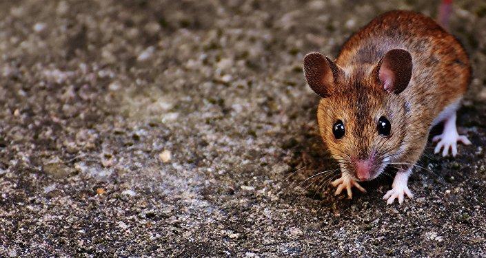 Un ratón, imagen referencial