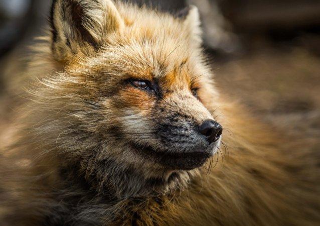 Un zorro (imagen referencial)