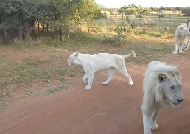Un león salta a un carro de turistas durante un safari