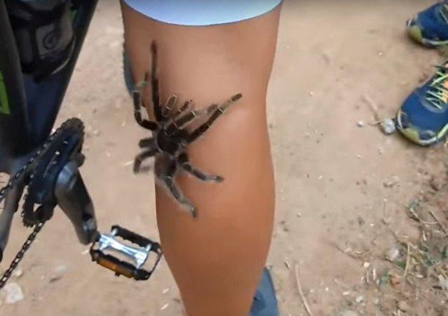 Una tarántula trepa por un ciclista