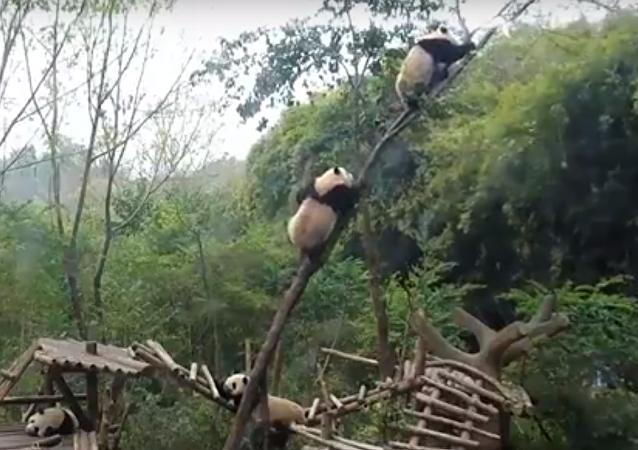 ¡Qué tierno! Un oso panda se cae de un árbol por culpa de su amigo