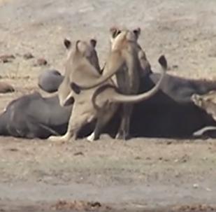 La trágica y larga lucha de una cría de elefante contra tres leones sin final feliz
