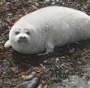 Zhrún, la cría de foca manchada más grande
