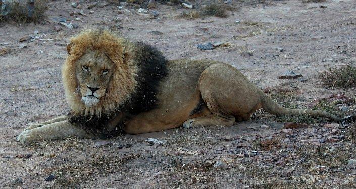 Un león (imagen ilustrativa)