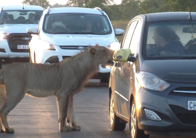 Una leona asusta a unos turistas al intentar abrir la puerta de su automóvil