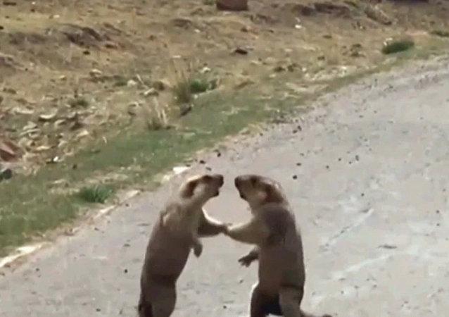 El 'tango mortal' de dos marmotas por una hembra