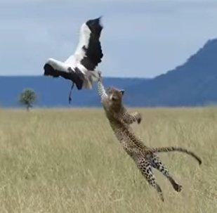 'Por las plumas': así escapó una cigüeña de las garras de un leopardo