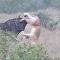 El feroz combate de dos leonas contra un ñu en Sudáfrica