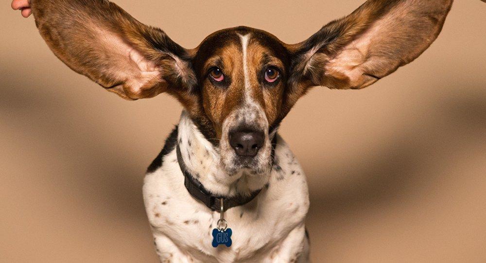 Un perro de orejas largas