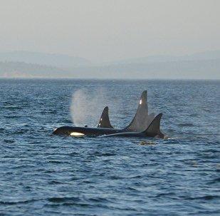 Unas orcas en el mar