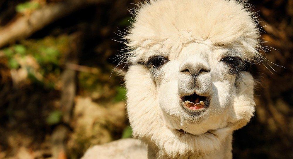Una alpaca