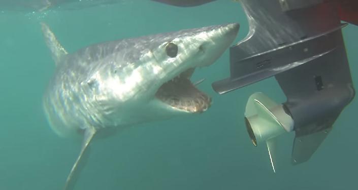 Tiburón enfurecido ataca el motor de una lancha