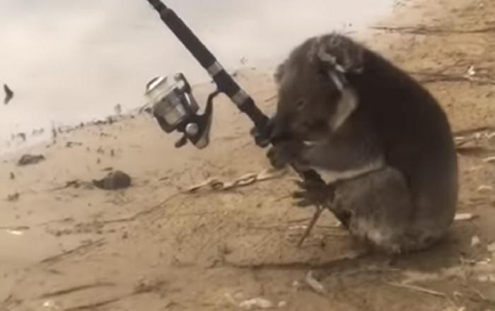 No hay nada que ver, simplemente un koala con una caña de pescar