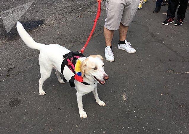 Un colombiano acude a votar en compañía de su perro