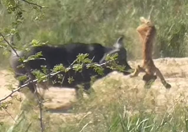 Un búfalo salva a un reptil de las garras de un león