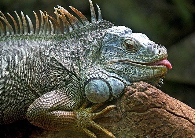 Un lagarto, imagen referencial