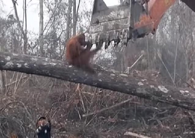 Un orangután se enfrenta a una excavadora en una dramática lucha