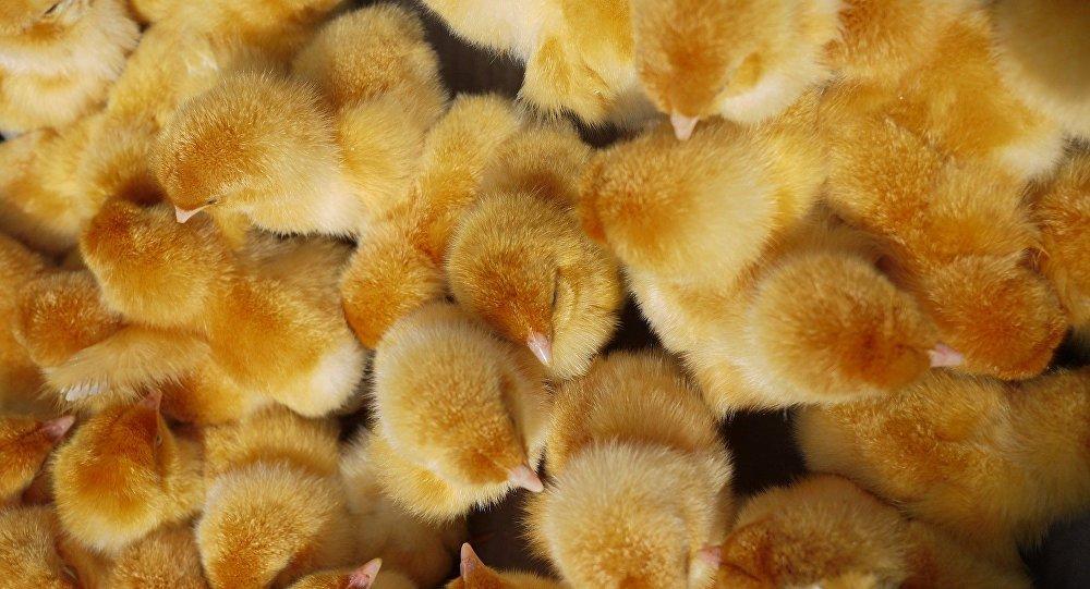 Tiran huevos a la basura, nacen pollitos e invaden la ciudad — Insólito