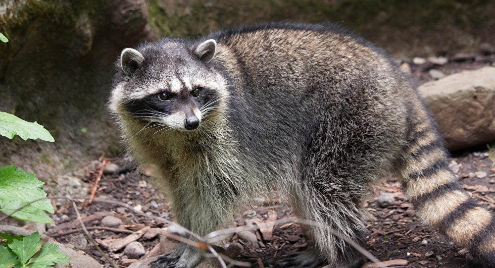 Un mapache (imagen ilustrativa)