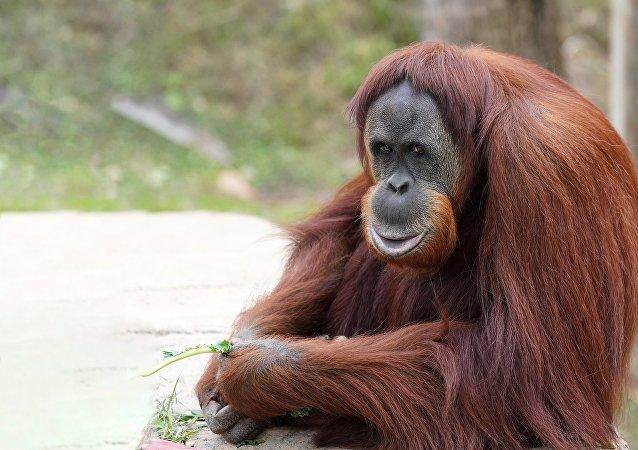 Orangután (imagen referencial)