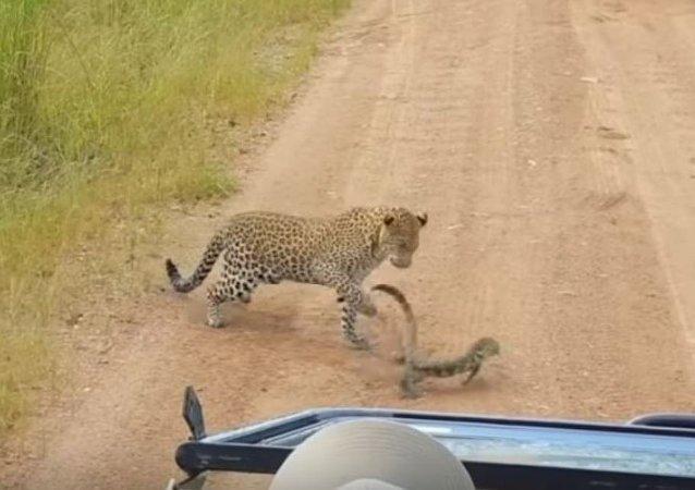 Lagarto abofetea a un leopardo