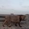 Un léon camina sobre un puente en la India
