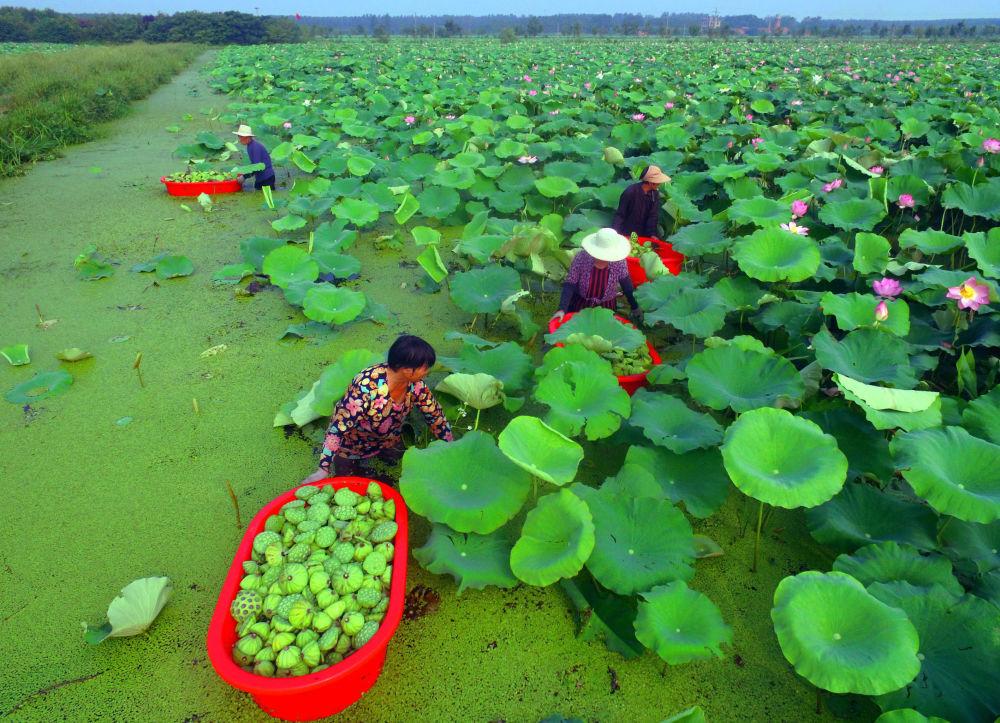 Flores de loto en la provincia de Shandong, China.