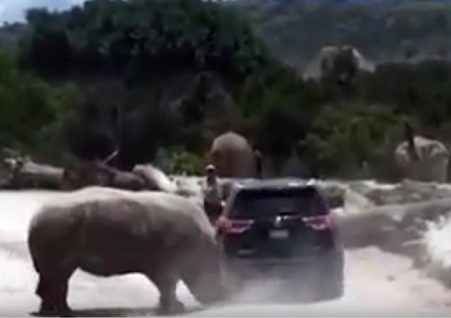 Rinoceronte ataca con furia a un vehículo familiar en zoo mexicano
