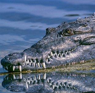Un cocodrilo (imagen referencial)