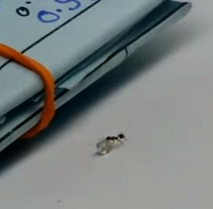 Cazan 'in fraganti' a una hormiga robando un diamante